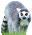 Flamingo Land Header Lemur
